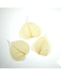 Natural Skeleton Leaves. Pack of 50